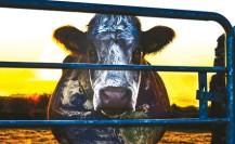 juin 22_L214_Cowspiracy_ BD