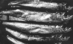 sardines-à-la-tomate